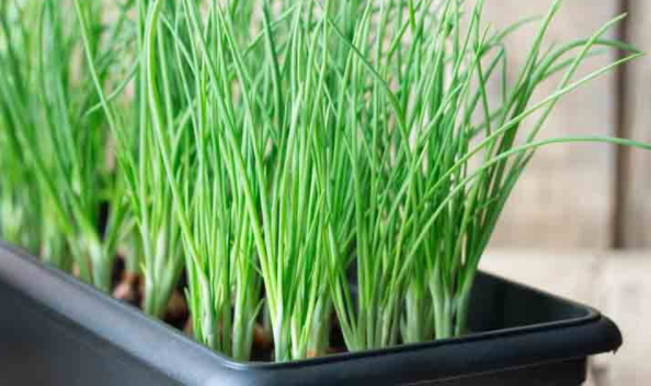"""How to grow """"Spring onions"""", green onion"""